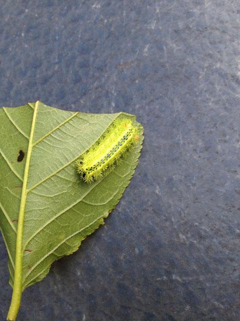 庭にいる害虫で、刺されると凄く痛いイラガ