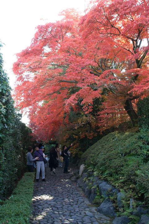 門を入って直ぐのイロハモミジの紅葉 トンネルになっていて本当に美しい