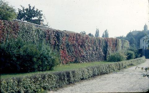 Die zugewachsene Stadtmauer in den 1950ern im heutigen Theaterpark/Chateaudunpark - Foto: Franz Schwalb