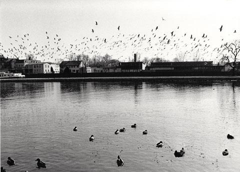 Vogelschwarm über dem Main - dahinter der Schlachthof (heute Hotel und Konferenzzentrum)