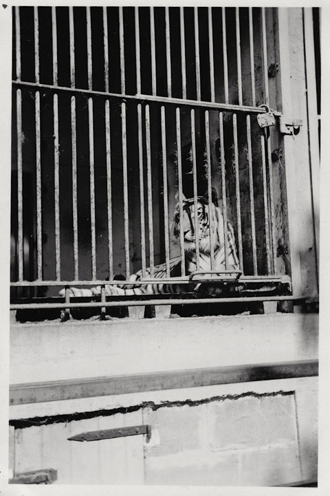 Tiger im Schweinfurter Zoo (Wehranlagen) Juni 1938
