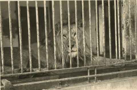 Der Löwe im Schweinfurter Tiergarten 1940