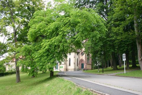 Geweihbaum Juni 2015 - evangelische Kirche im Hintergrund - Aufnahme W. Malek