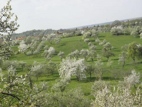 Streuobstwiese in der Blütezeit