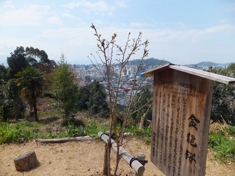 金龍桜はまだまだ開花しそうにありません   後方は松山市内と城山