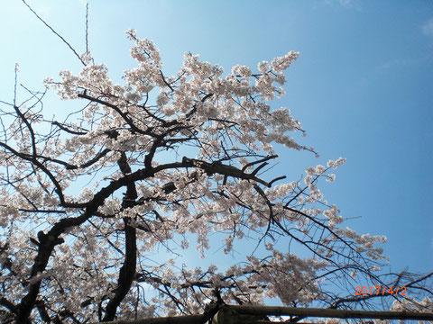 法華寺の古木は満開でした 青空に映え美しい!