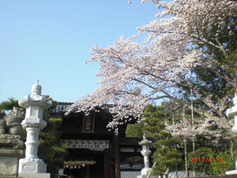 静まった境内にウグイスがさえずり美しい桜が心をいやしてくれます