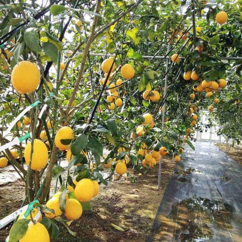 たわわに実る菊池レモン