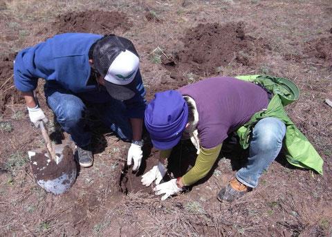 苗木を植えた後は、隙間ができないように足で踏み固め、手で土を寄せる。サカイ、腰痛に負けずwがんばっております