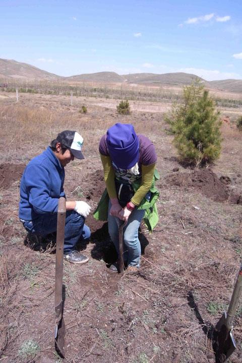 ヤマアンズの苗木を植えるべく穴掘り中in内モンゴル