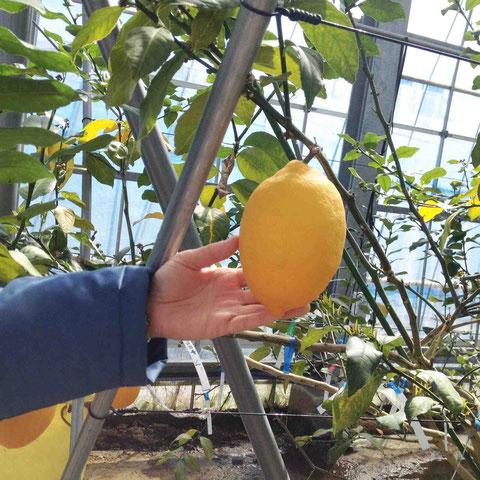 通常のレモンは半年。菊池レモンは9ヶ月樹上で完熟させると500g!にまで