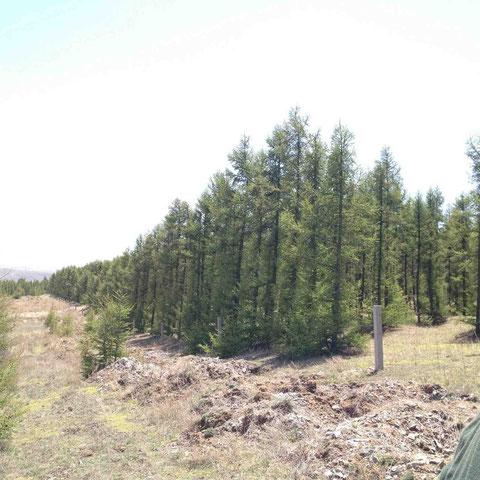 植樹後20年を経たカラマツ。これが暴風、防砂の役割を果たす