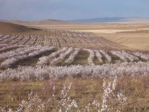 地球緑化クラブが植えた杏の木は荒野に花を咲かせている