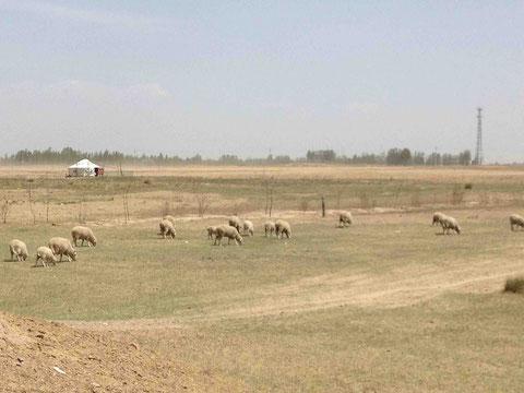 農村地帯では年間通して、遊牧地域では4〜6月禁牧のはずが、、、、