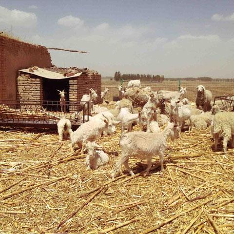 こちらはこの時期の放牧は控えているとのこと。ツノがあるのはカシミヤ山羊。すでに毛をかられている。