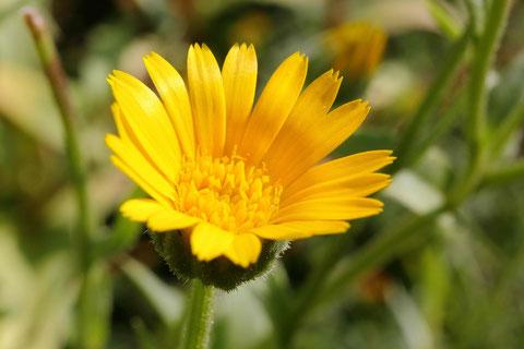 Wilde Ringelblume- Calendula arvensis