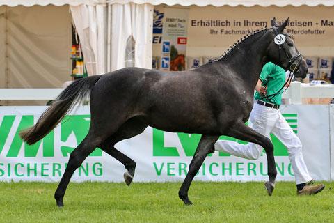 Deutsches Elitestutenchampionat Lienen 2013.