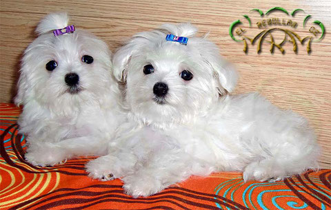 Cachorros de Bichón Maltés del Rebollar de Maram