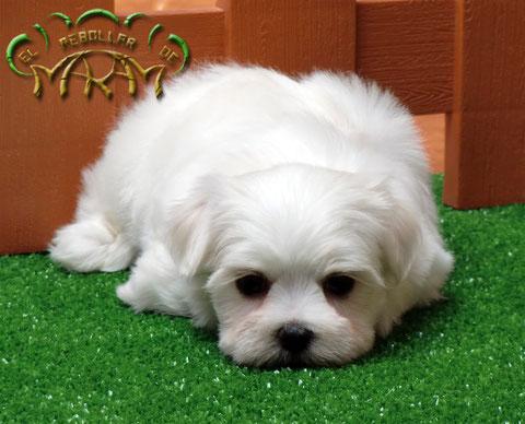 Cachorro de Bichón Maltés del Rebollar de Maram