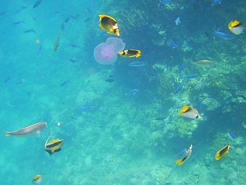 Irgendetwas Neues taucht jeden Tag beim Schnorcheln auf - diesmal sind es Quallen, an denen sich einige Fische gut tun.