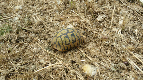 Eine griechische Landschildkröte...