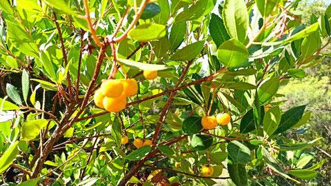 Gelbe Früchte am Erdbeerbaum