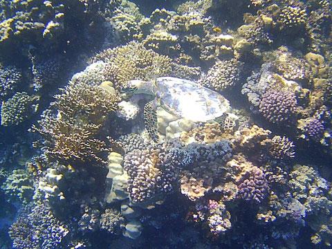 """Eine Schildkröte mitten im """"Korallengarten"""""""