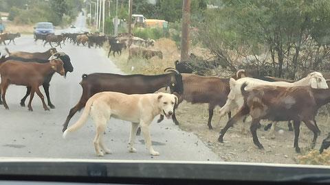 Es waren wohl insgesamt über 200 Ziegen und 8 Hunde auf der Straße