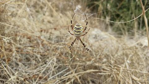 Eine echt fette Wespenspinne im Netz