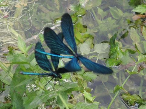 Blauflügel-Prachtlibellen