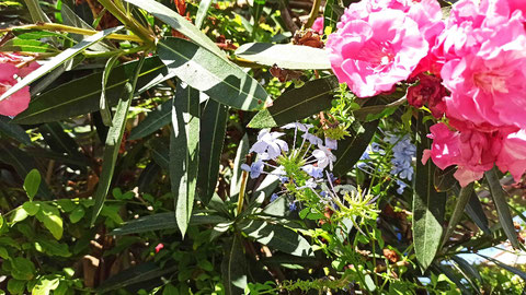 Das Drama spielt sich links von der Blüte, unter dem Querblatt ab