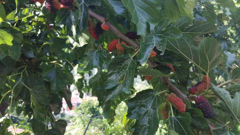 Unterwegs gab es frische Maulbeeren vom Baum