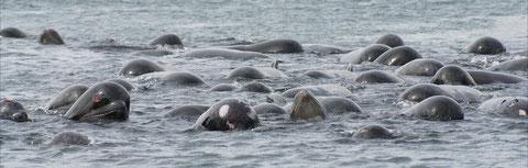 Groupe de globicéphales en détresse, dans le Loch Carnan dans les Hébrides  en mai 2011