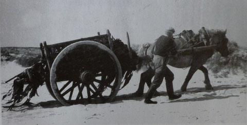 Charrette de goémonier remontant de la grève dans les années 50, Jean-Martin Moncus accompagne son cheval d'un pas alerte