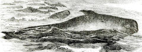 Globicéphale noir