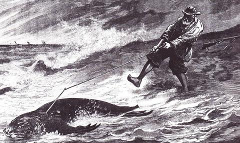 Scène de chasse au phoque en baie de Somme, après avoir été tiré au fusil il est harponné dans sa fuite vers la mer