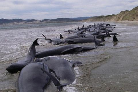 Groupe important de globicéphales échoués en Nouvelle-Zélande, la raison de ces échouements reste inexpliqué