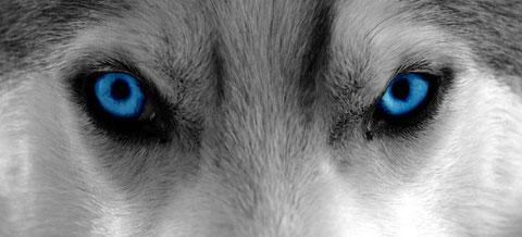 Les Loups et Louves... voir site www.jesuispatrick.fr