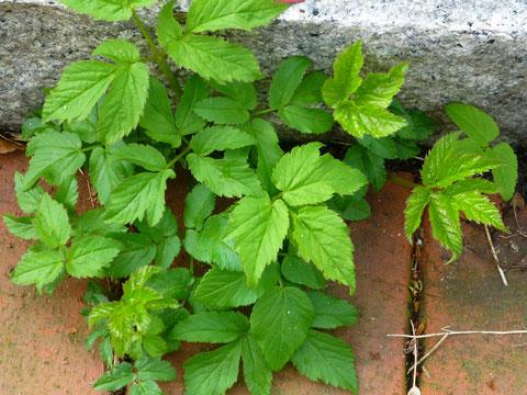 Die jungen Blätter dürfen in Salate und Kräutermischungen