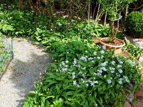Bärlauchblätter sind vor der Blüte am aromatischsten