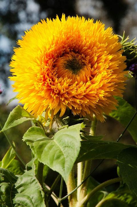 """Sonnenblume """"Teddybär"""" (Helianthus)"""