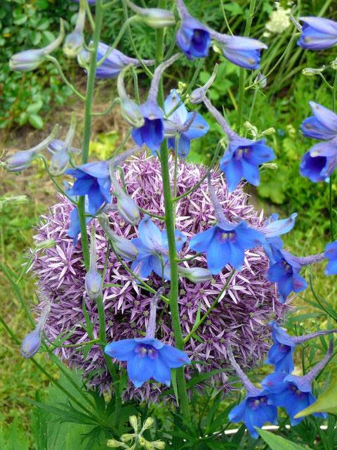 "Allium ""Globemaster"" + Rittersporn ""Piccolo"" (Delphinium-Belladonna-Hybr.)"