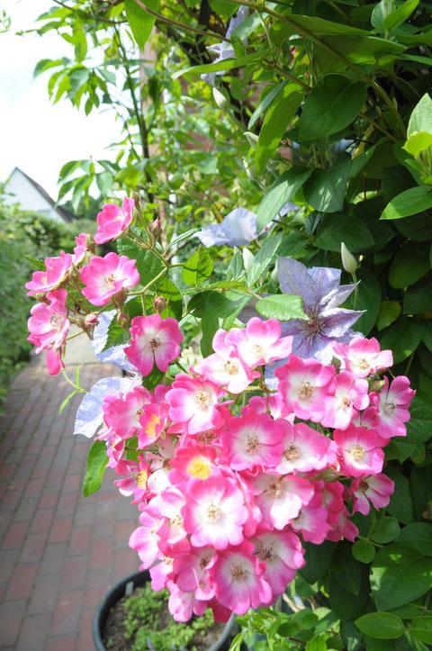 "Rose ""Mozart"", Clematis"
