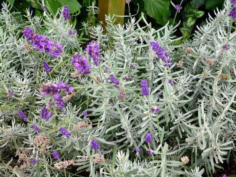 Lavendel - nur wenige Blüten benutzen!