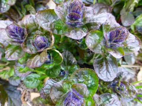 Der Purpurgünsel sieht toll aus, mit roten Blättern + blauen Kerzenblüten