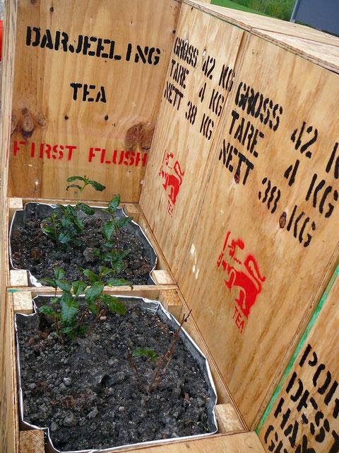 Bepflanzung mit Tee (Camellis sinensis) und anderen Teekräutern