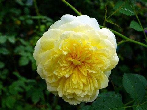 Alle Rosen haben außer Aroma auch Heilwirkungen