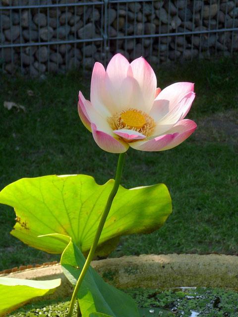 Der Lotus - Symbol der vollkommenen Reinheit