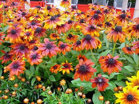 Sonnenhüte (Rudbekia) in Gewürz-Farben