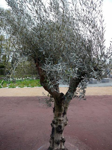 Einer von 12 alten Olivenbäumen, die mit sehr großer Sorgfalt hier gepflanzt wurden.